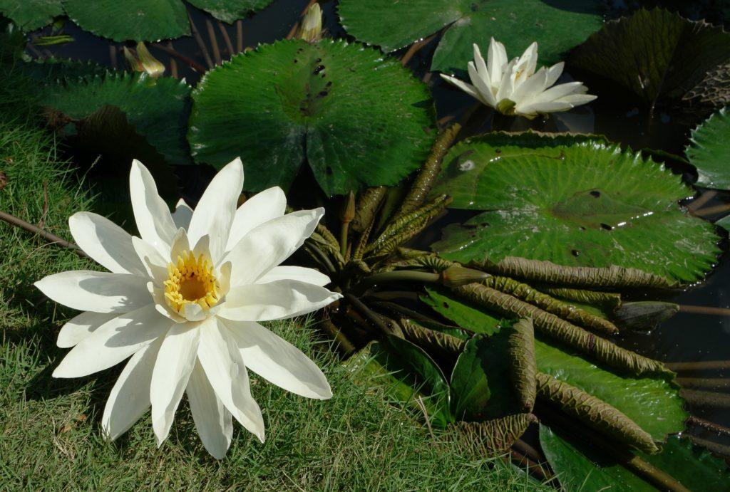 2 lotuses